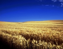 Image: Wheat